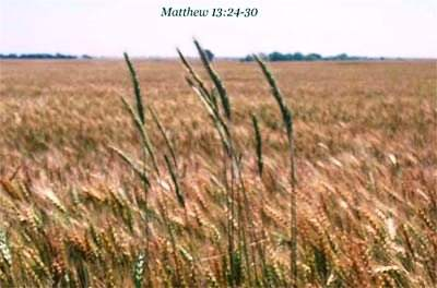 Wheat and tares look different wheat and weeds